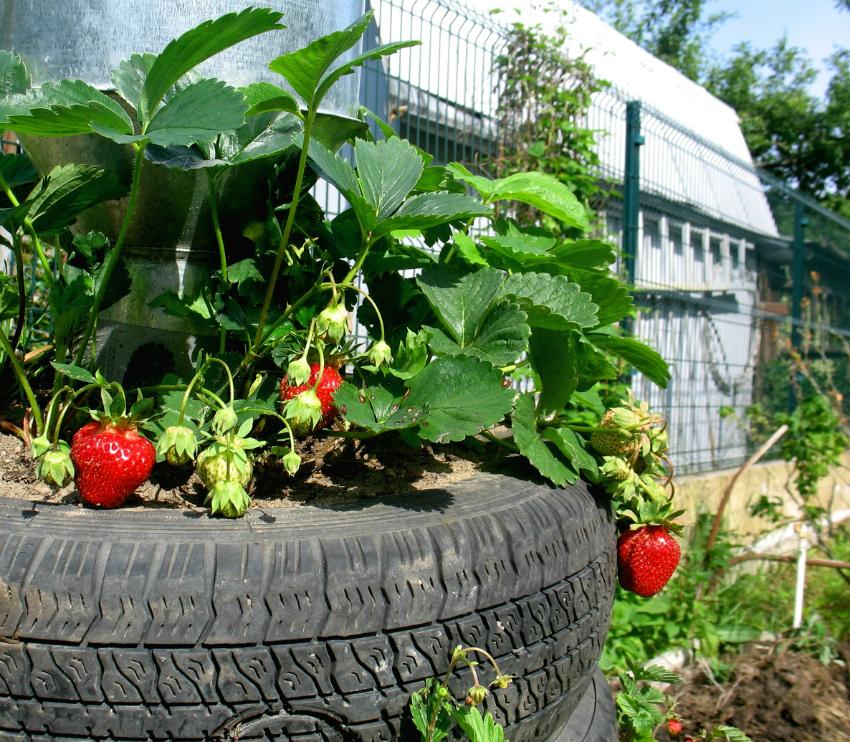 Выращивание клубники в шинах вертикально 74