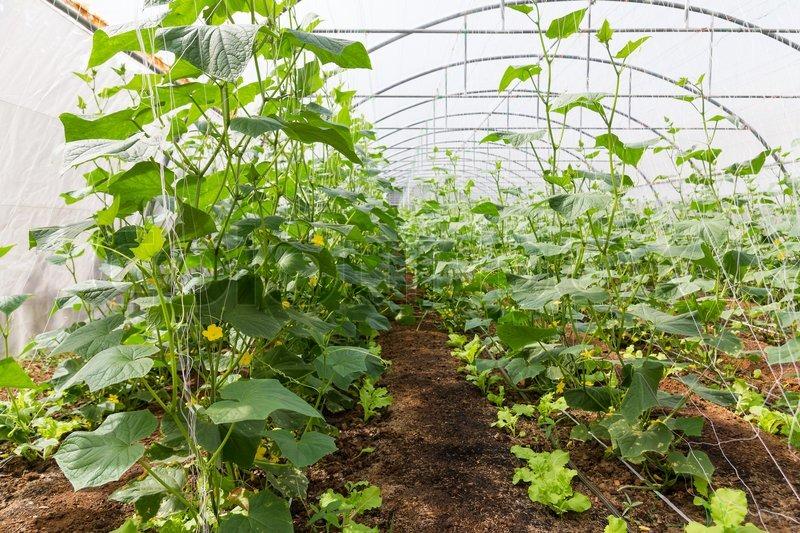 Патиссоны выращивание в теплице 42