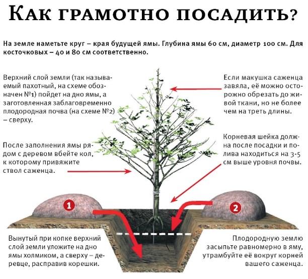 Когда сажают плодовые деревья 69