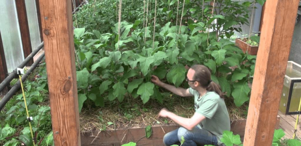 Посадка и выращивание баклажанов в теплице 23