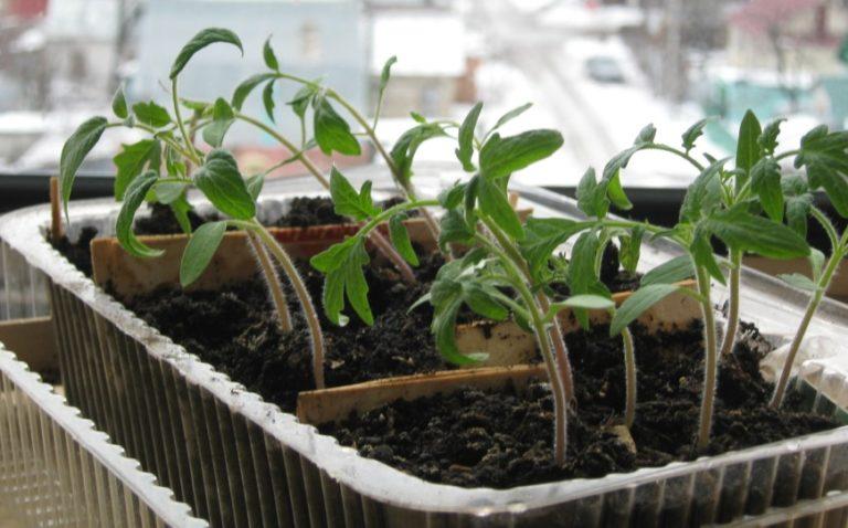 Как пикировать томаты на рассаду 100