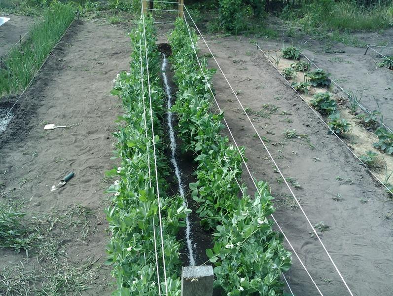 Выращивание и уход за горохом 389
