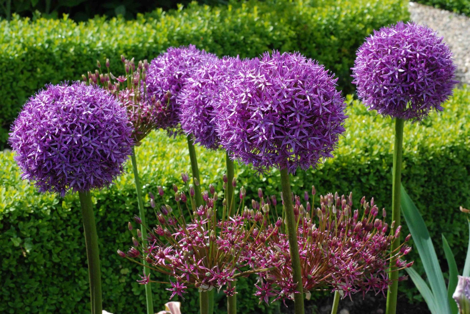 Каталог луковичных садовых цветов фото с названиями