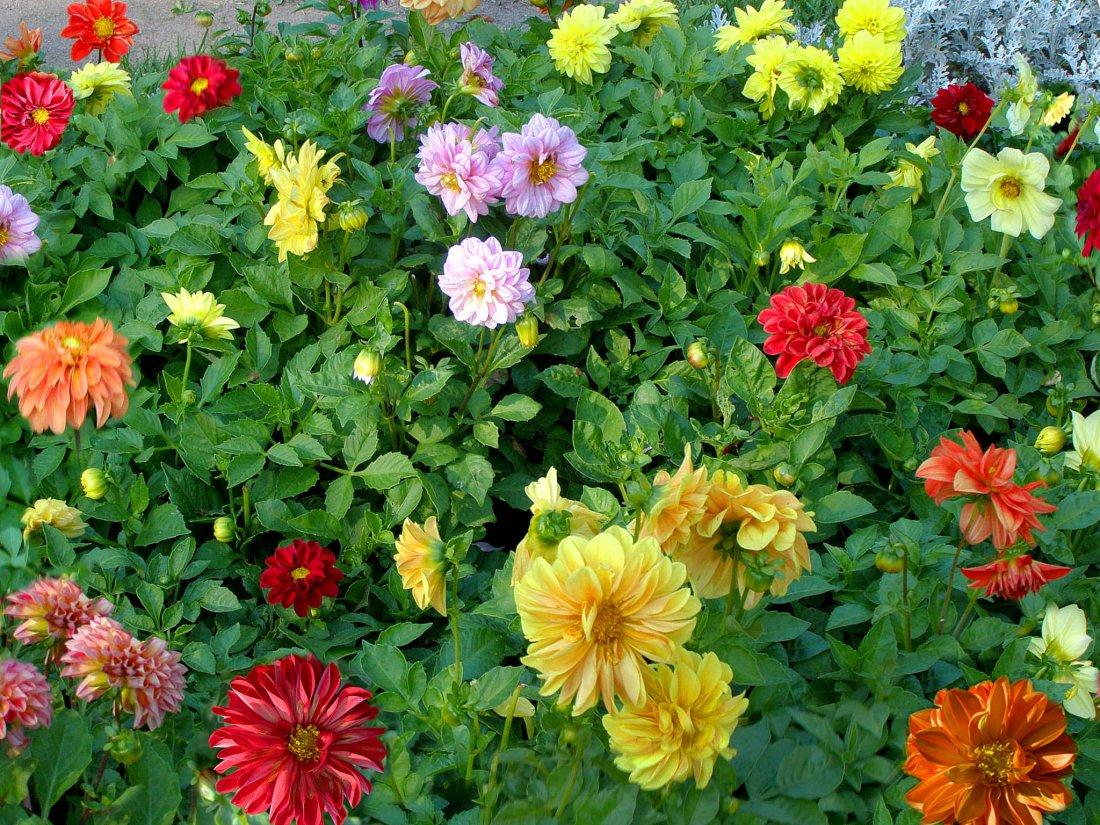 Однолетние георгины: выращивание из семян: посадка 20
