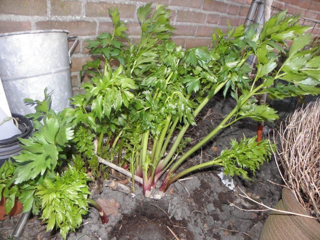 Любисток выращивание и уход фото 43