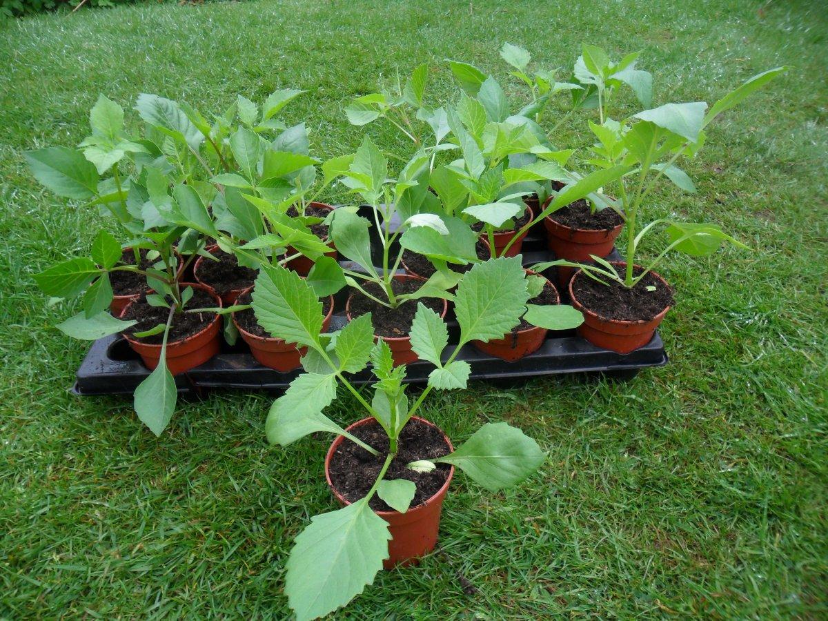 Однолетние георгины: выращивание из семян: посадка 44