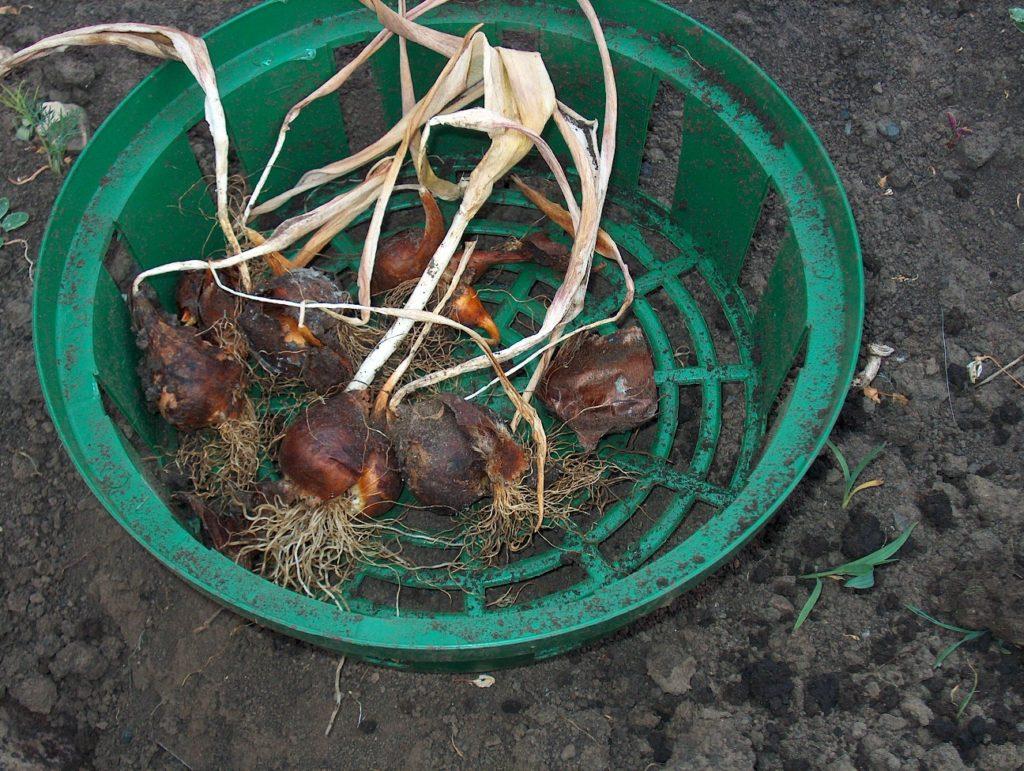 Тюльпаны: посадка и выращивание в саду, сорта, борьба с 23