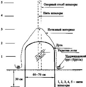 uhod-za-vinogradom-v-srednej-polose-podgotovka-k-zime-raskrytie-kustov-vesnoj-8888865