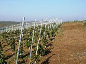 sazhentsy-vinograda-kak-vybrat-sorta-vinograda-dlya-srednej-polosy-876543