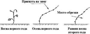 posadka-vinograda-formirovanie-kusta-vinograda-foto-video-instruktsiya-744556