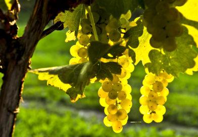 Виноград, летний уход: подкормка, пасынкование, прищипка (чеканка)винограда, видео советы