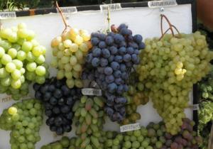 sazhentsy-vinograda-kak-vybrat-sorta-vinograda-dlya-srednej-polosy-6543