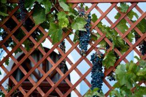 sazhentsy-vinograda-kak-vybrat-sorta-vinograda-dlya-srednej-polosy-7654322