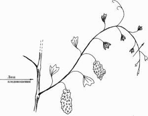 vinograd-letnij-uhod-podkormka-pasynkovanie-prishhipka-chekanka-vinograda-video-sovety-987654333