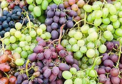 Виноград в теплице: выбираем сорта винограда для теплице