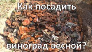 posadka-vinograda-formirovanie-kusta-vinograda-foto-video-instruktsiya-765432
