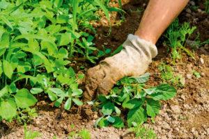 Уход за виноградом в средней полосе: подготовка к зиме, раскрытие кустов весной-5678876