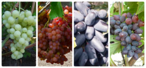 Саженцы винограда: как выбрать сорта винограда для средней полосы-865432235