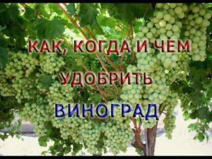 Виноград, летний уход: подкормка, пасынкование, прищипка (чеканка)винограда, видео советы-8765446