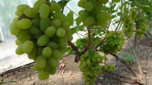 Виноград в теплице: выбираем сорта винограда для теплице-765434