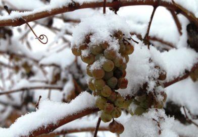 Уход за виноградом в средней полосе: подготовка к зиме, раскрытие кустов весной