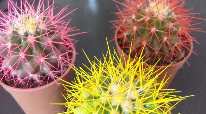tsvetnye-kaktusy-foto-opisanie-rasteniya