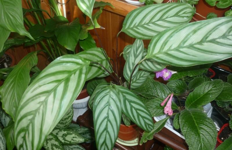 Калатея цветок уход в домашних условиях пересадка и размножение