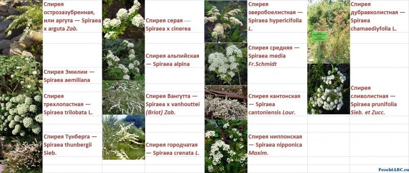 spireya-vangutta-foto-posadka-opisanie-uhod-8543212345