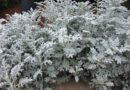 Цинерария гибридная: Цинерария гибридная: описание, уход, фото, видео инструкции, советы садовода