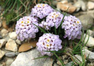rasteniya-dlya-alpijskoj-gorki-nazvaniya-opisanie-foto-87654334567