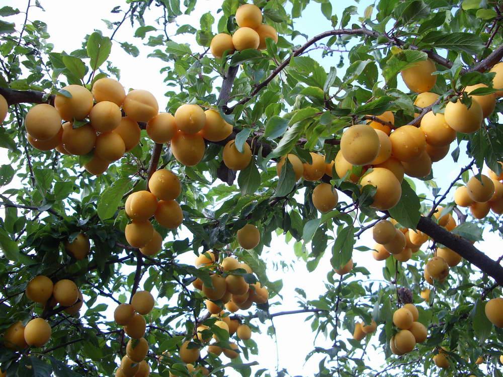 abrikos-foto-video-vyrashhivanie-posadka-i-uhod-za-abrikosom-432