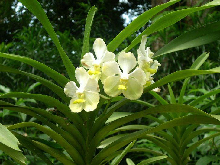 orhideya-kak-uhazhivat-za-orhideej-foto-video-razmnozhenie-i-peresadka-orhidej-23-8