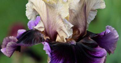irisy-foto-posadka-irisov-posadka-borodatogo-irisa-uhod-v-otkrytom-grunte