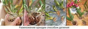 orhideya-kak-uhazhivat-za-orhideej-foto-video-razmnozhenie-i-peresadka-orhidej-8-9
