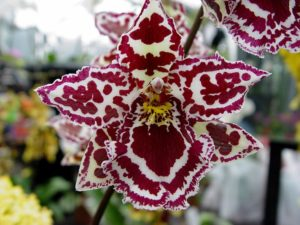 orhideya-kak-uhazhivat-za-orhideej-foto-video-razmnozhenie-i-peresadka-orhidej-9995543er