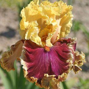 irisy-foto-posadka-irisov-posadka-borodatogo-irisa-uhod-v-otkrytom-grunte-99-0