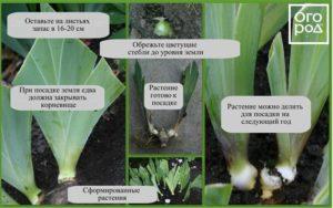 irisy-foto-posadka-irisov-posadka-borodatogo-irisa-uhod-v-otkrytom-grunte-1243-89