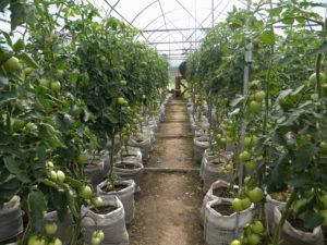 vyrashhivanie-pomidorov-v-teplitse-instruktsiya-dlya-nachinayushhih-33