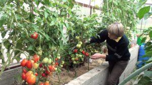 vyrashhivanie-pomidorov-v-teplitse-instruktsiya-dlya-nachinayushhih-22