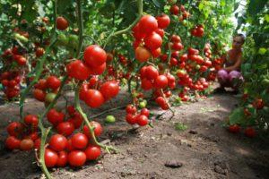 vyrashhivanie-pomidorov-v-teplitse-instruktsiya-dlya-nachinayushhih-35