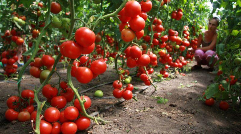 vyrashhivanie-pomidorov-v-teplitse-instruktsiya-dlya-nachinayushhih