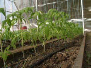vyrashhivanie-pomidorov-v-teplitse-instruktsiya-dlya-nachinayushhih-88