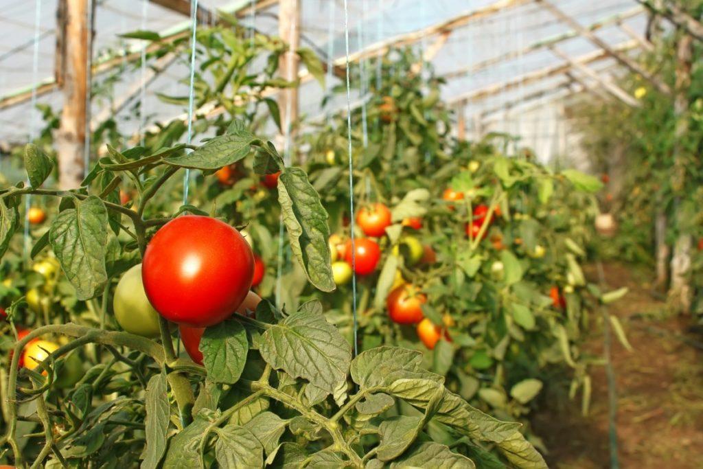 Как вырастить в теплице много помидор