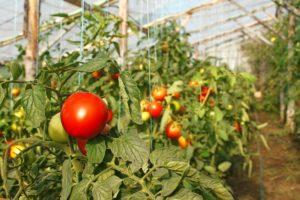 vyrashhivanie-pomidorov-v-teplitse-instruktsiya-dlya-nachinayushhih-8