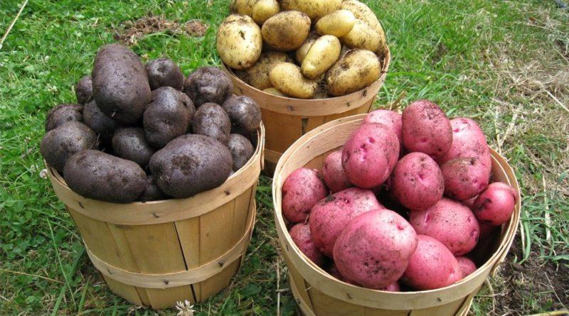 vyrashhivanie-kartofelya-opisanie-sortov-kartofelya-posadka-kartofelya