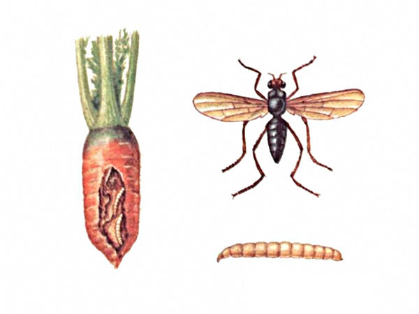 bolezni-i-vrediteli-morkovi-foto-i-opisanie-simptomov-5551