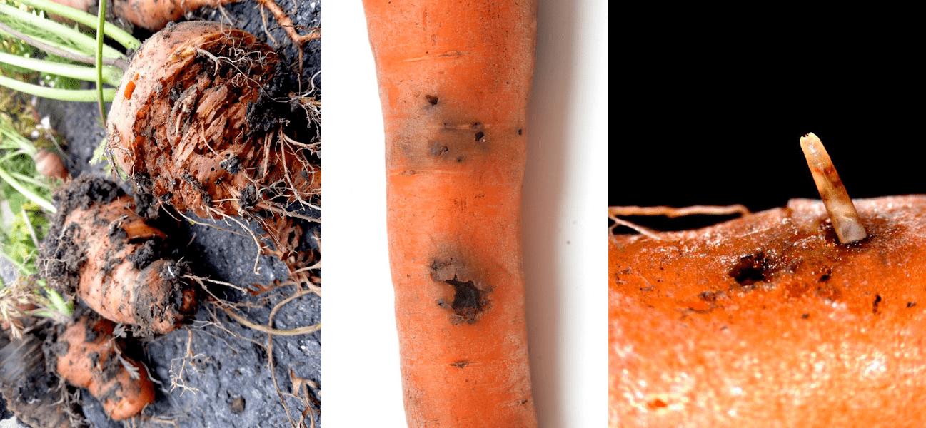 bolezni-i-vrediteli-morkovi-foto-i-opisanie-simptomov-09