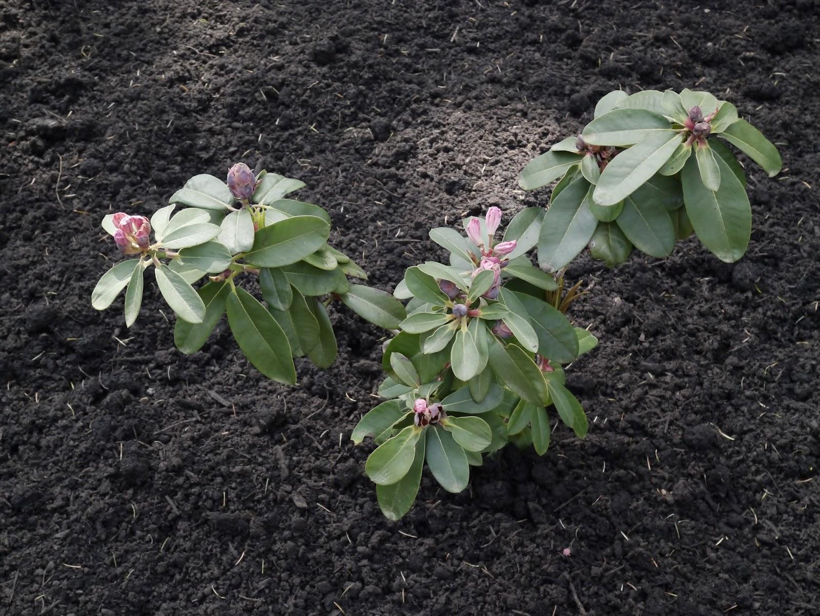 rododendron-foto-video-metody-razmnozheniya-10
