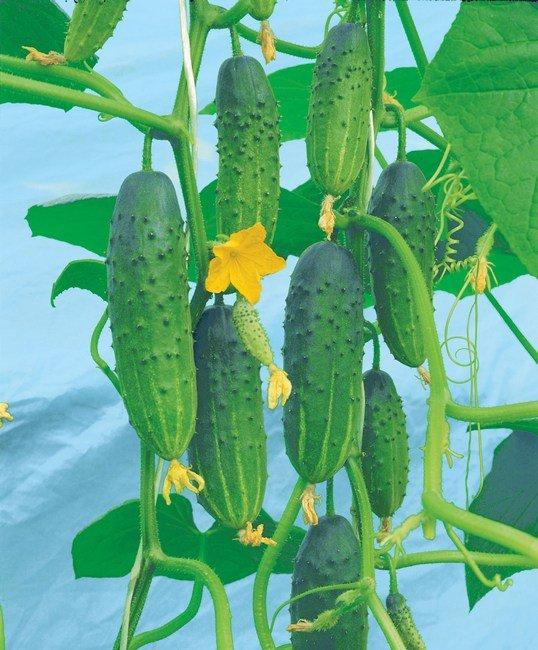 pcheloopylyaemye-ogurtsy-foto-opisanie-sorta-i-gibridy-8