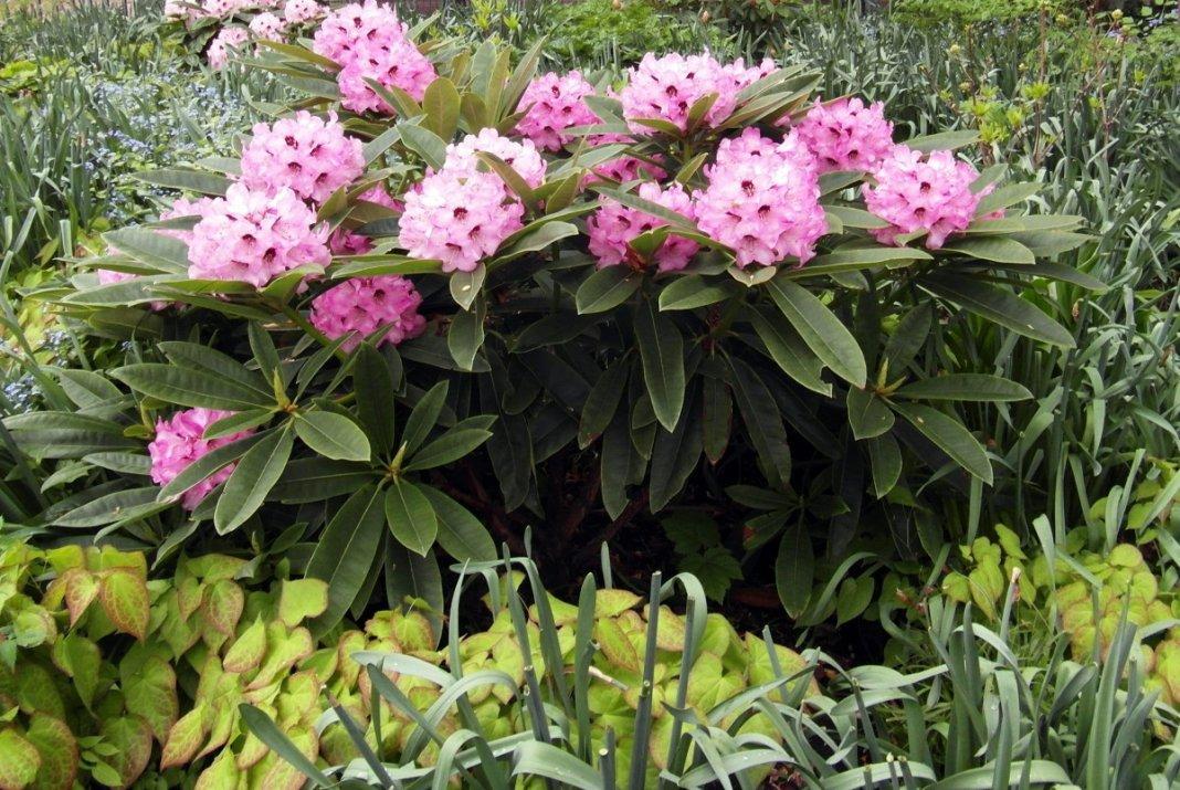 rododendron-foto-video-metody-razmnozheniya-80